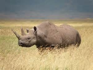 Cites Rhino 1